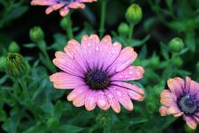 African daisies, such as this Copper Amethyst variety, have that familiar center disk and colorful petals ranging from white to yellow to bluish-purples. (Photos by Gary Bachman)