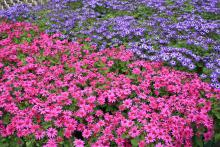 The color palette of the Senetti pericallis is in the blue to purple range and includes bright magenta blooms to brighten the final weeks of winter.
