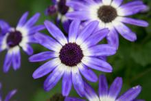 Bicolor selections of Senetti pericallis have attractive white centers.