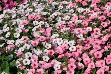 Vista Bubblegum and Vista Silverberry are supertunias. Together, they create a stunning effect as a landscape bed planting. (Photos by Gary Bachman)