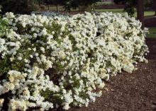 Gardenia can be used as a focal point, specimen or informal hedge, such the one in this garden.
