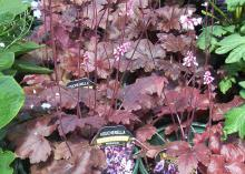 Coral bells can have some of the darkest foliage around, ranging from deep burgundy and dark purple to black. (Photo by MSU Extension Service/Gary Bachman)