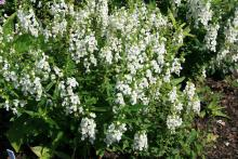 Angelonia Serena white grows to 12 inches tall and spreads up to 14 inches wide. Its summer toughness make it a great choice for Mississippi gardens. (Photo by MSU Extension Service/Gary Bachman)