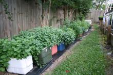 Recycled coolers make easy mint-growing containers and limit mint's aggressive growth. (Photo by MSU Extension Service/Gary Bachman)