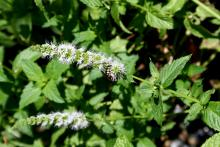 For greatest flavor and fragrance, harvest mint after flowers are produced. (Photo by MSU Extension Service/Gary Bachman)