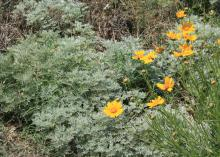 Plants that have blue and gray colors make good planting companions for Coreopsis, such as this Artemsia growing underneath Coreopsis grandiflora. (Photo by MSU Extension Service/Gary Bachman)