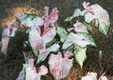 Foliage colors include reds, pinks, whites and greens, all in various shades and combinations, such as the ones in this Caladium peppermint. (Photo by MSU Extension Service/Gary Bachman)