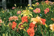 With over 30,000 varieties of daylilies to choose from, gardeners can create mass plantings full of blooms in all sizes, shapes and colors. (Photo by MSU Extension Service/Gary Bachman)