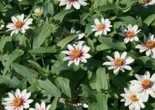 Starlight Rose, a bicolor zinnia Zahara selection, has white petals with a splash of deep rose in the center. Hot summer temperatures may cause the rose color to fade, but it reappears with fall weather. (Photo by MSU Extension Service/Gary Bachman)