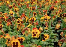 The warm colors of Delta Fire pansies are unusual for this type of plant. (Photo by MSU Extension Service/Gary Bachman)