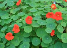 The yellow, red and orange nasturtium flowers attract butterflies to this cascading vine. (Photo by MSU Extension Service/Gary Bachman)