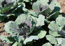 Ornamental kale and cabbage brighten up winter landscapes and can be added to salads and stir-fries. The Pigeon Purple cabbage variety forms round, semisolid heads with outer leaves that are dark green with purplish veins. (Photo by MSU Extension Service/Gary Bachman)