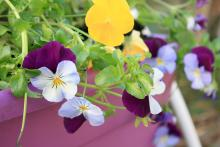 Cool Wave trailing pansies such as these Violet Wing and Lemon pansies have a unique spreading and trailing growth habit that makes them must-haves in gardens. (Photo by MSU Extension Service/Gary Bachman)