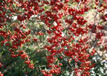 Pyracantha's colorful berries can add beauty and interest to any winter landscape. (Photo by MSU Extension Service/Gary Bachman)