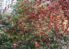 Pyracantha produces abundant white flower clusters in the spring and displays abundant red-orange fruit clusters in the fall and winter. (Photo by MSU Extension Service/Gary Bachman)
