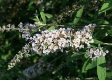 Butterflies and hummingbirds love the flowers displayed on the arching, graceful stems of this Flutterby Grande Blueberry Cobbler butterfly bush. (Photo by MSU Extension Service/Gary Bachman)