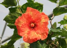 Thirty-eight varieties of Cajun hibiscus give plant lovers plenty of color choices, including bright yellows, pinks, reds, whites and color blends, such as this variety, called High Definition. (Photo by MSU Ag Communications/Gary Bachman)