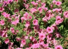 Supertunia Picasso in Pink has unique, bright pink flower petals edged in lime green that seem to blend into the foliage. (Photo by MSU Extension Service/Gary Bachman)