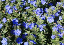 A new variety of Evolvulus called Blue My Mind has flowers that last for only one day, but so many buds that the flowering is continuous. (Photo by MSU Extension Service/Gary Bachman)
