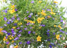 Lobelia has the reputation of melting away in the summer heat, but newer introductions such as this Techno Blue combined with yellow bidens have better staying power in our hot summers. (Photo by MSU Extension Service/Gary Bachman)