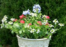 This container garden displays patriotic colors for the Fourth of July. The red Cora vinca is the filler, the spreading and trailing white scaevola is the spiller, and the powdery blue flowers of annual plumbago add the thrill.  (Photo by MSU Extension Service/Gary Bachman)