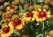 The bright and colorful flowers of Gallo Dark Bicolor do not fade in the intense heat and sunlight of Mississippi summers. (Photo by MSU Extension Service/Gary Bachman)