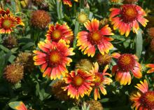 The Gaillardia Scarlet Halo has colors similar to the Gallo Dark Bicolor, but the petals are a more rosy scarlet. The intensity of the color combination depends on the local environment. (Photo by MSU Extension Service/Gary Bachman) attributes for Mississippi summers. (Photo by MSU Extension Service/Gary Bachman)