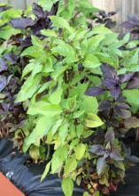 Grow herbs such as these colorful Dark Opal and Purple Osmin basil plants in a container so you can have fresh seasonings and decorations for dishes all winter long. (Photo by MSU Extension Service/Gary Bachman)