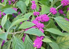 The American beautyberry is a native plant with three seasons of interest. Small flowers appear with the leaves in the spring, summer foliage is a rich green, and fall brings clusters of berries. (Photo by MSU Extension Service/Gary Bachman)
