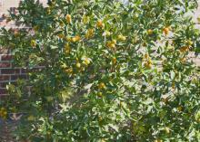 Kumquat trees produce fruit in astonishing numbers and are perhaps the most cold-tolerant of the citrus trees. (Photo by MSU Extension Service/Gary Bachman)