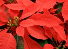 Although the red leaves or bracts of poinsettias look like flowers, the true flowers are the yellow/green bead-like structures at the center of the bracts. These cyathia have opened. (Photo by MSU Extension Service/Gary Bachman)