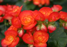 Poinsettias are not the only plants to bring rich red colors into the house. Consider using Carneval elatior begonia this Christmas. (Photo by MSU Extension Service/Gary Bachman)