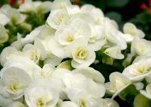 Elatior begonia, such as this white variety, can be a perfect indoor holiday plant. (Photo by MSU Extension Service/Gary Bachman)