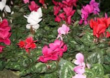 Cyclamen is a great indoor plant for the Christmas holidays because it has a long blooming period that produces loads of colorful flowers. (Photo by MSU Extension Service/Gary Bachman)