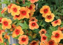Calibrachoa Noa Sunset has contrasting orange popsicle-colored petals and a reddish-orange center. (Photo by MSU Extension Service/Gary Bachman)
