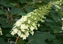 Oakleaf hydrangea flowers are clusters made up of smaller, individual flowers growing in a cone shape. They start white and transition to pink shades. (Photo by MSU Extension Service/Gary Bachman)