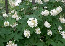 Oakleaf hydrangeas bloom from early May to the middle of June. The coarse-textured foliage provides an excellent background for later-flowering plants, and it turns from dark gray-green to bronzy reds, oranges and browns in the fall. (Photo by MSU Extension Service/Gary Bachman)