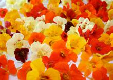 Nasturtium flowers and their foliage are edible and can make a nice appetizer that pleases the eyes and the palate. (Photo by MSU Extension Service/Gary Bachman)