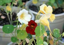 Nasturtium Night and Day is an elegant combination of bright, clear cream and dark-mahogany flowers. (Photo by MSU Extension Service/Gary Bachman)