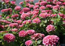 These pink Magellan zinnias are shorter and stockier than some zinnia and do not require staking, even though their flowers are enormous. (Photo by MSU Extension Service/Gary Bachman)