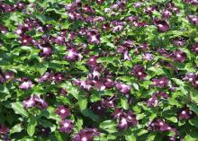 Jams 'N Jellies is an All-America Selection annual flowering vinca that has performed very well in Mississippi State University garden trials. (Photo by MSU Extension Service/Gary Bachman)