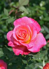 Hybrid tea roses come in a dizzying array of colors and typically produce a single flower at the end of each stem, making them perfect for cutting and enjoying in a vase indoors. (Photo by MSU Extension Service/Gary Bachman)