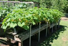 Yellow squash growing in containers have been placed on benches, making it easy for those with accessibility concerns to enjoy gardening. (Photo by MSU Extension Service/Gary Bachman)