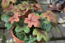 Redstone Falls is a foamy bell variety that has transitioning foliage color. Leaves emerge a coppery red and change to a light green with dark patterns in the center.