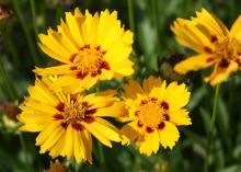 The huge flowers of Coreopsis Corey Yellow are deep, bold yellow with maroon center splotches. (Photo by MSU Extension Service/Gary Bachman)