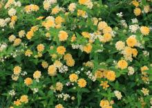 The unique flowers of Butter Cream lantana start out bright golden-yellow before turning creamy white from the edges to the center. During the summer, there is a beautiful blend of these sunny flowers on the plant. (Photo by MSU Ag Communications/Kat Lawrence)
