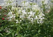 The spidery pistils and stamens of the Sparkler cleome resemble long streamers bursting across the night sky. They are available in this white variety as well as pink and lavender. (Photo by MSU Extension Service/Gary Bachman)