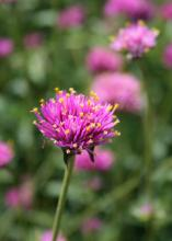 A two-time Mississippi Medallion winner, Fireworks gomphrena burst into color with pink bracts featuring yellow stamens resembling tiny firecrackers exploding. (Photo by MSU Extension Service/Gary Bachman)