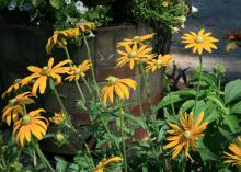 The emerald-green center cones of Rudbeckia Irish Eyes make these unique Black-eyed Susans stand out from the crowd. (Photo by MSU Extension Service/Gary Bachman)