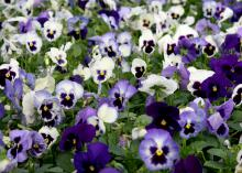 The Matrix Ocean Breeze mix has the traditional pansy blotch, a dark coloration of the lower flower petals, and it comes in varying shades of blue and dark purple. (Photo by MSU Extension Service/Gary Bachman)